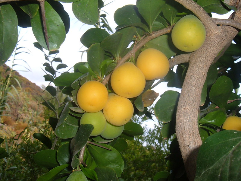 Fruits that Africans Eat - Kei Apple